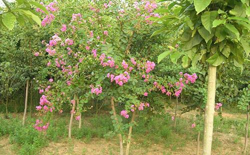 绿环园林苗圃基地—紫薇