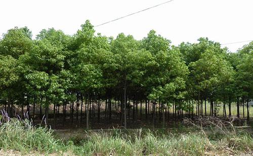 绿环园林苗圃基地—香樟