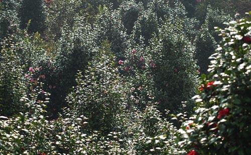 绿环园林苗圃茶花