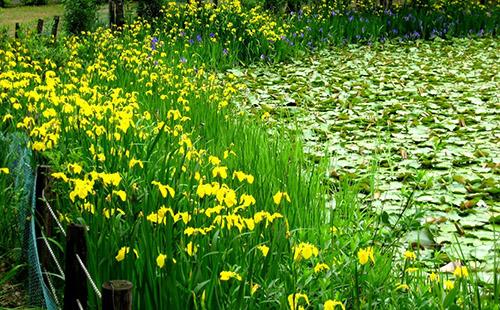 绿环园林-水生植物绿化养护要点