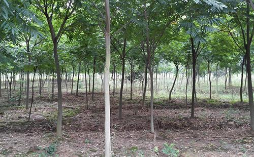 绿环园林苗圃基地—无患子