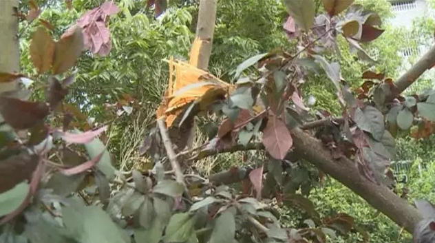 树枝被采摘李子的市民强行折断,断枝耷拉在树上