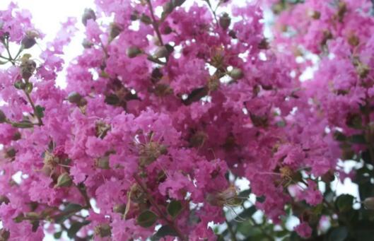 八月紫薇盛开绿环园林2018年8月摄于丽水南明湖